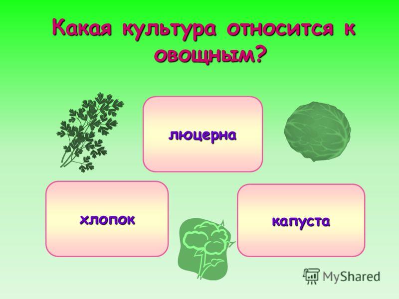 Какая культура относится к овощным? капуста хлопок люцерна