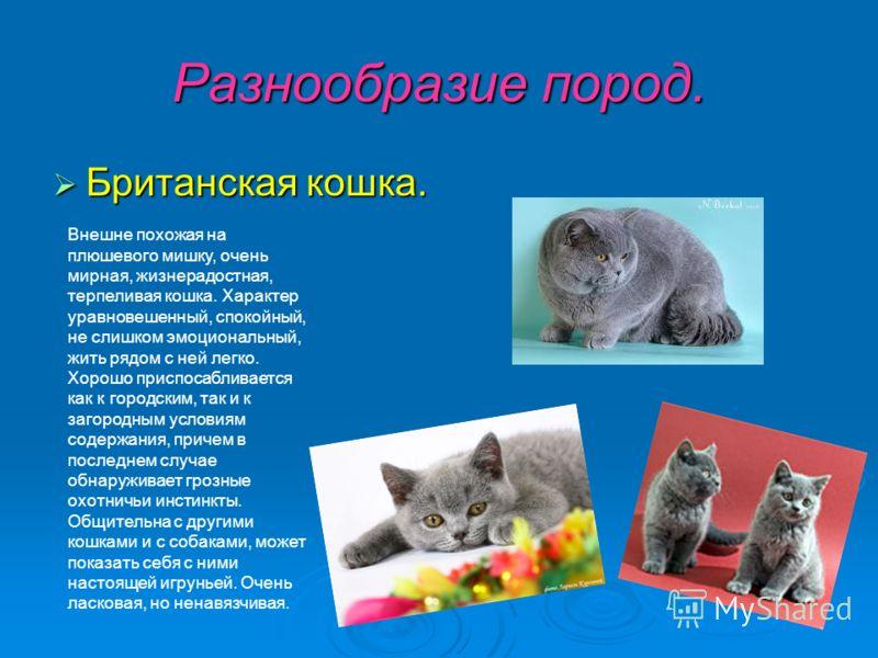 Разнообразие пород. Британская кошка. Британская кошка. Внешне похожая на плюшевого мишку, очень мирная, жизнерадостная, терпеливая кошка. Характер уравновешенный, спокойный, не слишком эмоциональный, жить рядом с ней легко. Хорошо приспосабливается