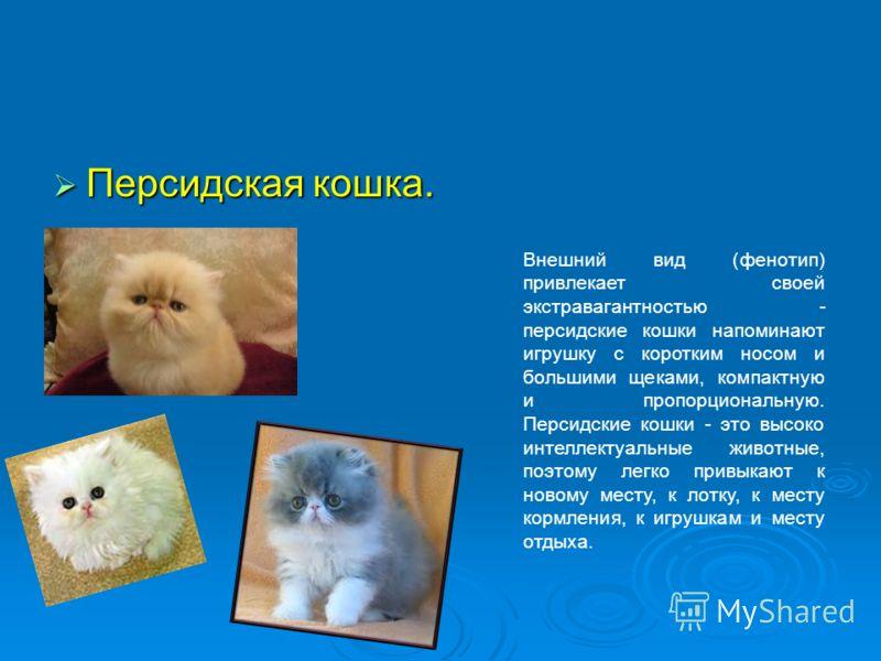Персидская кошка. Персидская кошка. Внешний вид (фенотип) привлекает своей экстравагантностью - персидские кошки напоминают игрушку с коротким носом и большими щеками, компактную и пропорциональную. Персидские кошки - это высоко интеллектуальные живо