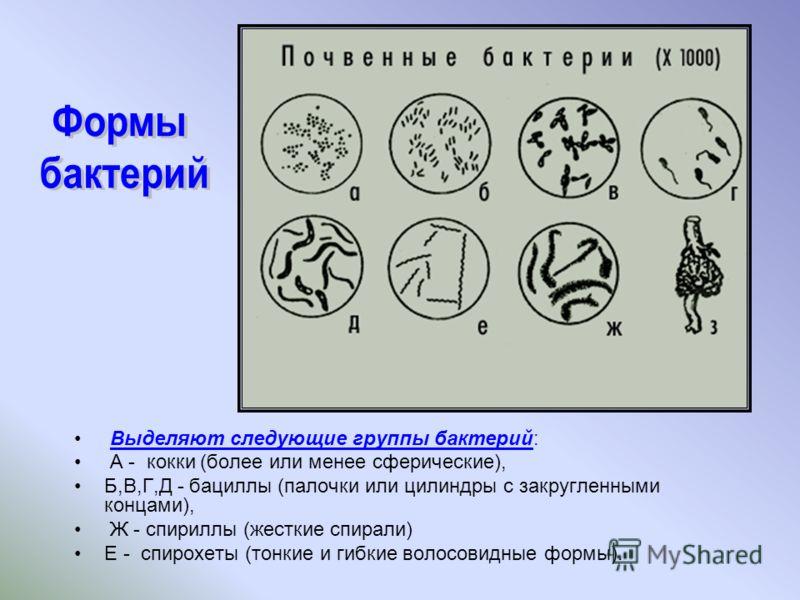 Выделяют следующие группы бактерий: А - кокки (более или менее сферические), Б,В,Г,Д - бациллы (палочки или цилиндры с закругленными концами), Ж - спириллы (жесткие спирали) Е - спирохеты (тонкие и гибкие волосовидные формы).