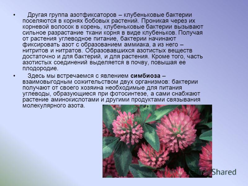 Другая группа азотфиксаторов – клубеньковые бактерии поселяются в корнях бобовых растений. Проникая через их корневой волосок в корень, клубеньковые бактерии вызывают сильное разрастание ткани корня в виде клубеньков. Получая от растения углеводное п