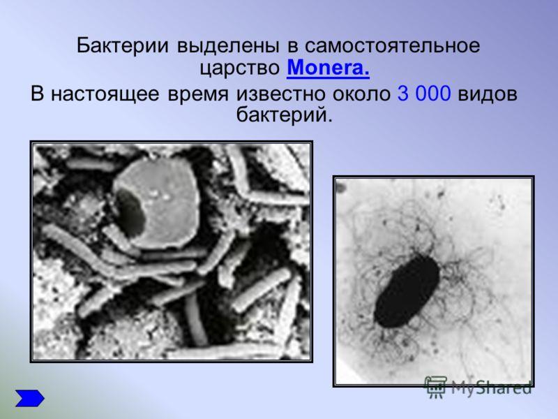 Бактерии выделены в самостоятельное царство Monera. В настоящее время известно около 3 000 видов бактерий.