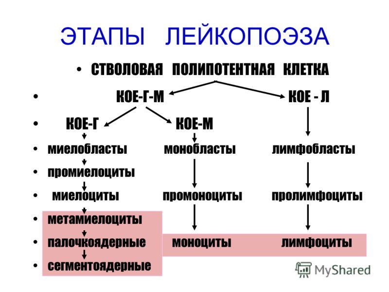 ЭТАПЫ ЛЕЙКОПОЭЗА СТВОЛОВАЯ ПОЛИПОТЕНТНАЯ КЛЕТКА КОЕ-Г-М КОЕ - Л КОЕ-Г КОЕ-М миелобласты монобласты лимфобласты промиелоциты миелоциты промоноциты пролимфоциты метамиелоциты палочкоядерные моноциты лимфоциты сегментоядерные