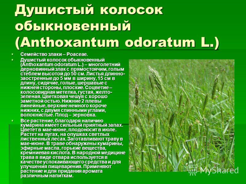 Душистый колосок обыкновенный (Anthoxantum odoratum L.) Семейство злаки – Poaceae. Семейство злаки – Poaceae. Душистый колосок обыкновенный (Anthoxantum odoratum L.) – многолетний дерновинный злак с прямостоячим, голым стеблем высотой до 50 см. Листь