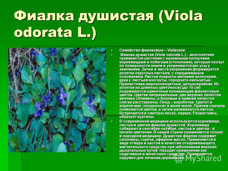 Фиалка душистая (Viola odorata L.) Семейство фиалковые – Violaceae. Семейство фиалковые – Violaceae. Фиалка душистая (Viola odorata L.) - многолетнее травянистое растение с наземными ползучими корневищами и побегами (столонами), которые ползут по пов