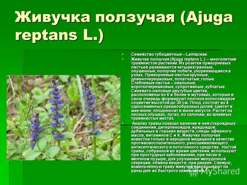 Живучка ползучая (Ajuga reptans L.) Семейство губоцветные – Lamiaceae. Семейство губоцветные – Lamiaceae. Живучка ползучая (Ajuga reptans L.) – многолетнее травянистое растение. Из розетки прикорневых листьев развиваются четырехгранные, опушенные, по