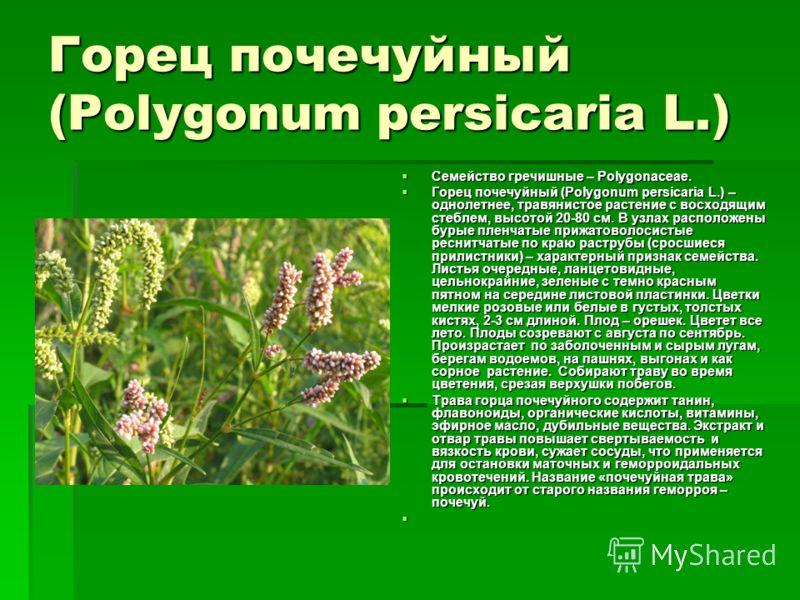 Горец почечуйный (Polygonum persicaria L.) Семейство гречишные – Polygonaceae. Семейство гречишные – Polygonaceae. Горец почечуйный (Polygonum persicaria L.) – однолетнее, травянистое растение с восходящим стеблем, высотой 20-80 см. В узлах расположе