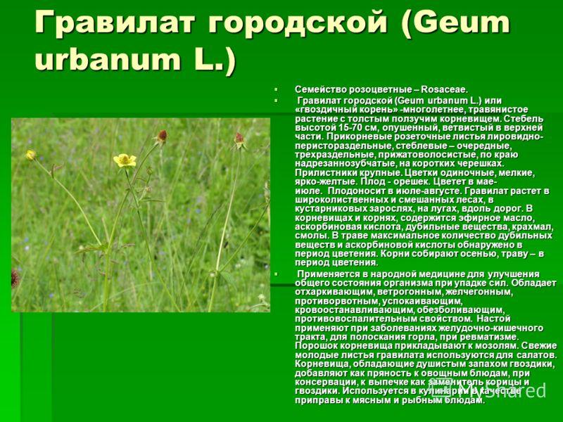 Гравилат городской (Geum urbanum L.) Семейство розоцветные – Rosaceae. Семейство розоцветные – Rosaceae. Гравилат городской (Geum urbanum L.) или «гвоздичный корень» -многолетнее, травянистое растение с толстым ползучим корневищем. Стебель высотой 15