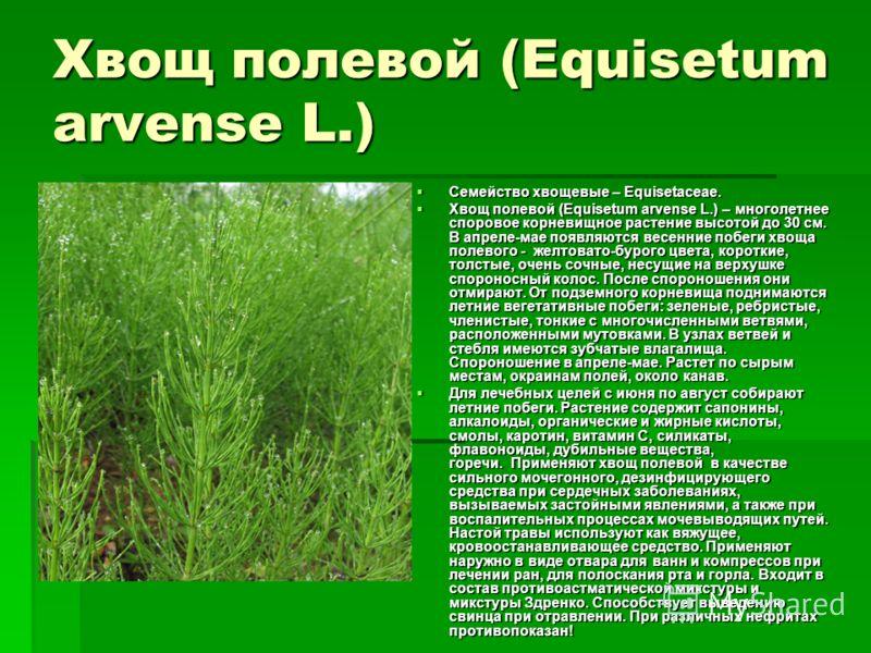 Хвощ полевой (Equisetum arvense L.) Семейство хвощевые – Equisetaceae. Семейство хвощевые – Equisetaceae. Хвощ полевой (Equisetum arvense L.) – многолетнее споровое корневищное растение высотой до 30 см. В апреле-мае появляются весенние побеги хвоща