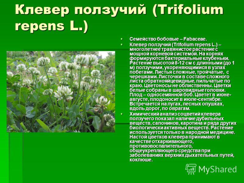Клевер ползучий (Trifolium repens L.) Семейство бобовые – Fabaceae. Семейство бобовые – Fabaceae. Клевер ползучий (Trifolium repens L.) – многолетнее травянистое растение с мощной корневой системой. На корнях формируются бактериальные клубеньки. Раст