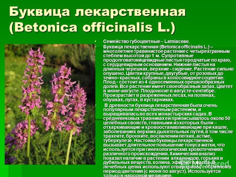 Буквица лекарственная (Betonica officinalis L.) Семейство губоцветные – Lamiaceae. Семейство губоцветные – Lamiaceae. Буквица лекарственная (Betonica officinalis L.) – многолетнее травянистое растение с четырехгранным стеблем высотой до 1 м. Супротив