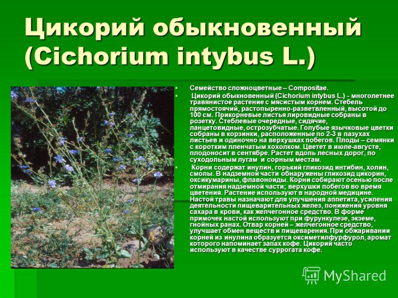 Цикорий обыкновенный (Cichorium intybus L.) Семейство сложноцветные – Compositae. Семейство сложноцветные – Compositae. Цикорий обыкновенный (Cichorium intybus L.) - многолетнее травянистое растение с мясистым корнем. Стебель прямостоячий, растопырен