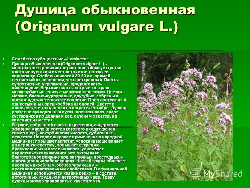 Душица обыкновенная (Origanum vulgare L.) Семейство губоцветные – Lamiaceae. Семейство губоцветные – Lamiaceae. Душица обыкновенная (Origanum vulgare L.) - многолетнее травянистое растение, образует густые плотные кустики и имеет ветвистое, ползучее