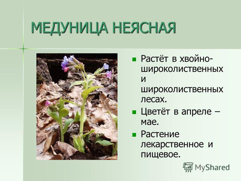 МЕДУНИЦА НЕЯСНАЯ Растёт в хвойно- широколиственных и широколиственных лесах. Растёт в хвойно- широколиственных и широколиственных лесах. Цветёт в апреле – мае. Цветёт в апреле – мае. Растение лекарственное и пищевое. Растение лекарственное и пищевое.