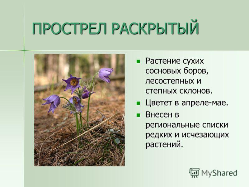ПРОСТРЕЛ РАСКРЫТЫЙ Растение сухих сосновых боров, лесостепных и степных склонов. Растение сухих сосновых боров, лесостепных и степных склонов. Цветет в апреле-мае. Цветет в апреле-мае. Внесен в региональные списки редких и исчезающих растений. Внесен