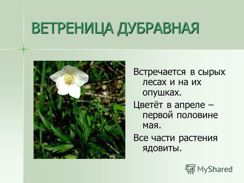 ВЕТРЕНИЦА ДУБРАВНАЯ Встречается в сырых лесах и на их опушках. Цветёт в апреле – первой половине мая. Все части растения ядовиты.