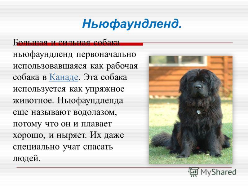 Большая и сильная собака ньюфаундленд первоначально использовавшаяся как рабочая собака в Канаде. Эта собака используется как упряжное животное. Ньюфаундленда еще называют водолазом, потому что он и плавает хорошо, и ныряет. Их даже специально учат с