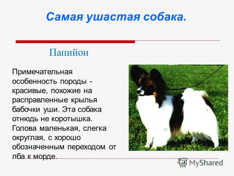 Самая ушастая собака. Папийон Примечательная особенность породы - красивые, похожие на расправленные крылья бабочки уши. Эта собака отнюдь не коротышка. Голова маленькая, слегка округлая, с хорошо обозначенным переходом от лба к морде.