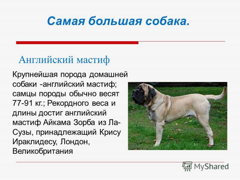Самая большая собака. Английский мастиф Крупнейшая порода домашней собаки -английский мастиф; самцы породы обычно весят 77-91 кг.; Рекордного веса и длины достиг английский мастиф Айкама Зорба из Ла- Сузы, принадлежащий Крису Ираклидесу, Лондон, Вели