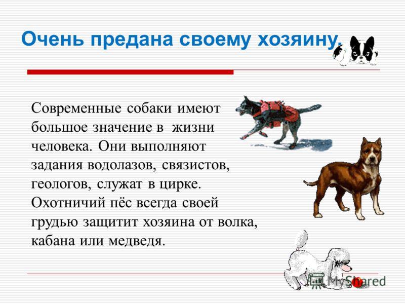 Современные собаки имеют большое значение в жизни человека. Они выполняют задания водолазов, связистов, геологов, служат в цирке. Охотничий пёс всегда своей грудью защитит хозяина от волка, кабана или медведя. Очень предана своему хозяину.