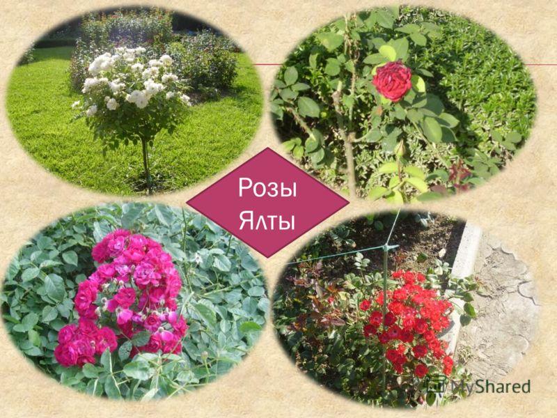 Розы Ялты