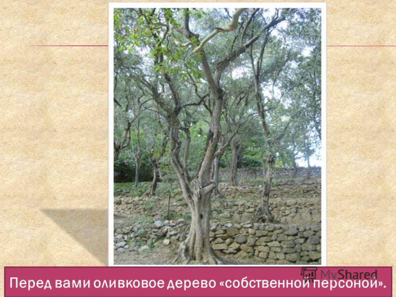 Перед вами оливковое дерево «собственной персоной».