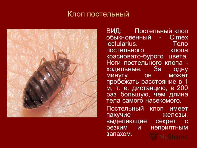 Клоп постельный ВИД: Постельный клоп обыкновенный - Cimex lectularius. Тело постельного клопа красновато-бурого цвета. Ноги постельного клопа - ходильные. За одну минуту он может пробежать расстояние в 1 м, т. е. дистанцию, в 200 раз большую, чем дли