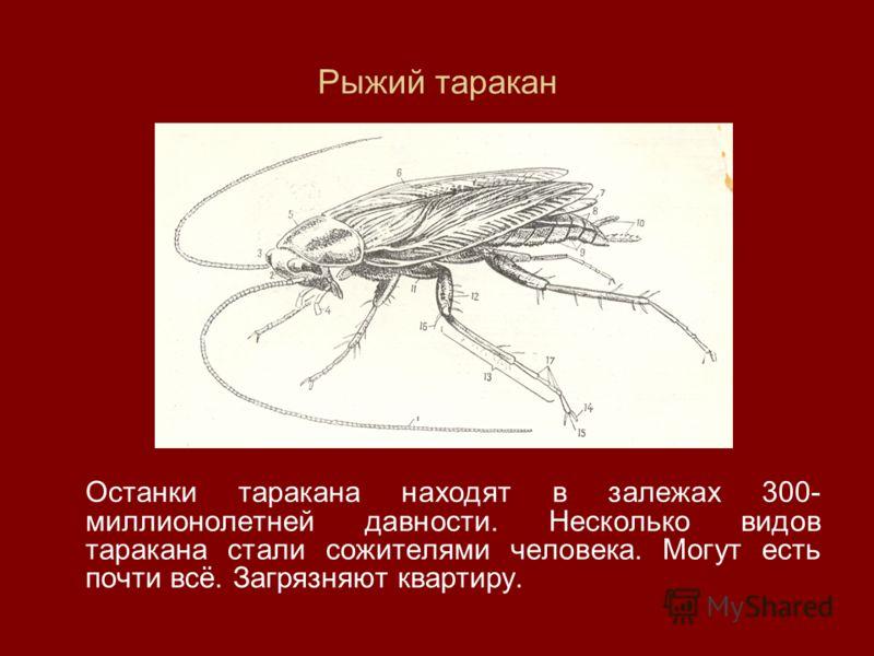 Рыжий таракан Останки таракана находят в залежах 300- миллионолетней давности. Несколько видов таракана стали сожителями человека. Могут есть почти всё. Загрязняют квартиру.