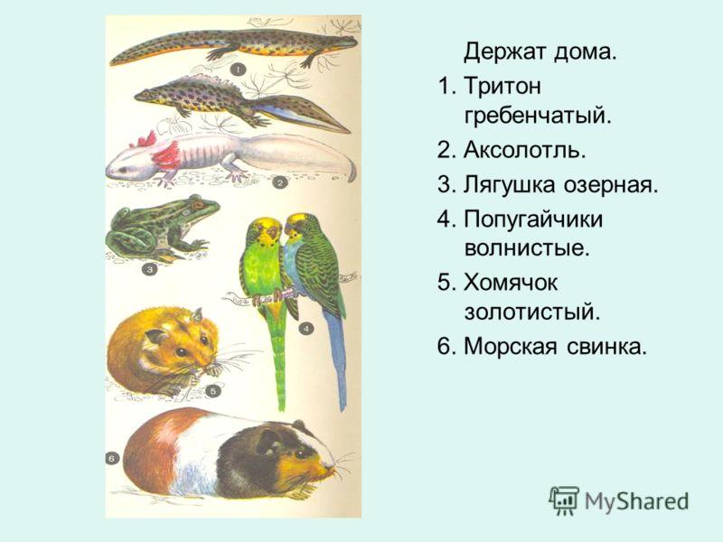 Держат дома. 1. Тритон гребенчатый. 2. Аксолотль. 3. Лягушка озерная. 4. Попугайчики волнистые. 5. Хомячок золотистый. 6. Морская свинка.
