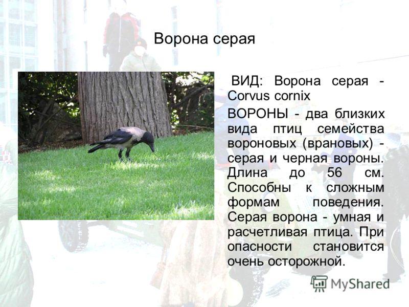 Ворона серая ВИД: Ворона серая - Corvus cornix ВОРОНЫ - два близких вида птиц семейства вороновых (врановых) - серая и черная вороны. Длина до 56 см. Способны к сложным формам поведения. Серая ворона - умная и расчетливая птица. При опасности станови