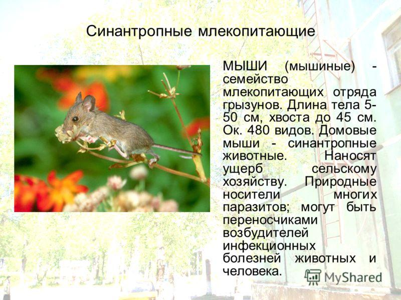 Синантропные млекопитающие МЫШИ (мышиные) - семейство млекопитающих отряда грызунов. Длина тела 5- 50 см, хвоста до 45 см. Ок. 480 видов. Домовые мыши - синантропные животные. Наносят ущерб сельскому хозяйству. Природные носители многих паразитов; мо