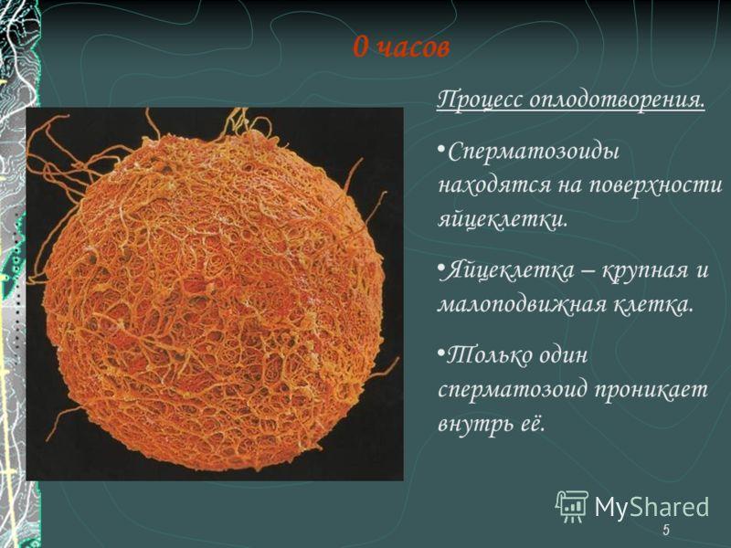 5 0 часов Процесс оплодотворения. Сперматозоиды находятся на поверхности яйцеклетки. Яйцеклетка – крупная и малоподвижная клетка. Только один сперматозоид проникает внутрь её.