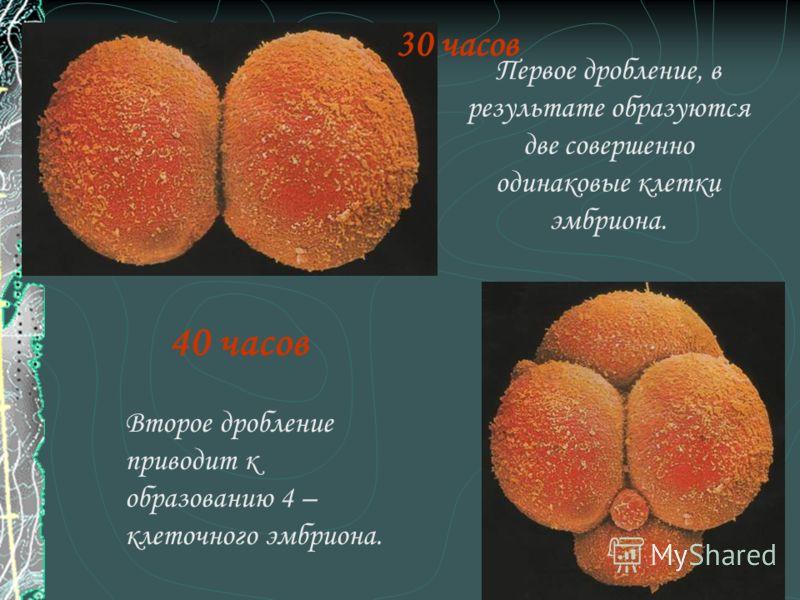 7 30 часов Первое дробление, в результате образуются две совершенно одинаковые клетки эмбриона. 40 часов Второе дробление приводит к образованию 4 – клеточного эмбриона.