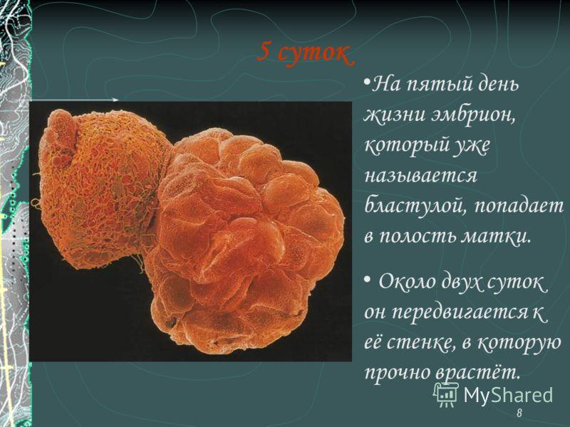8 5 суток На пятый день жизни эмбрион, который уже называется бластулой, попадает в полость матки. Около двух суток он передвигается к её стенке, в которую прочно врастёт.