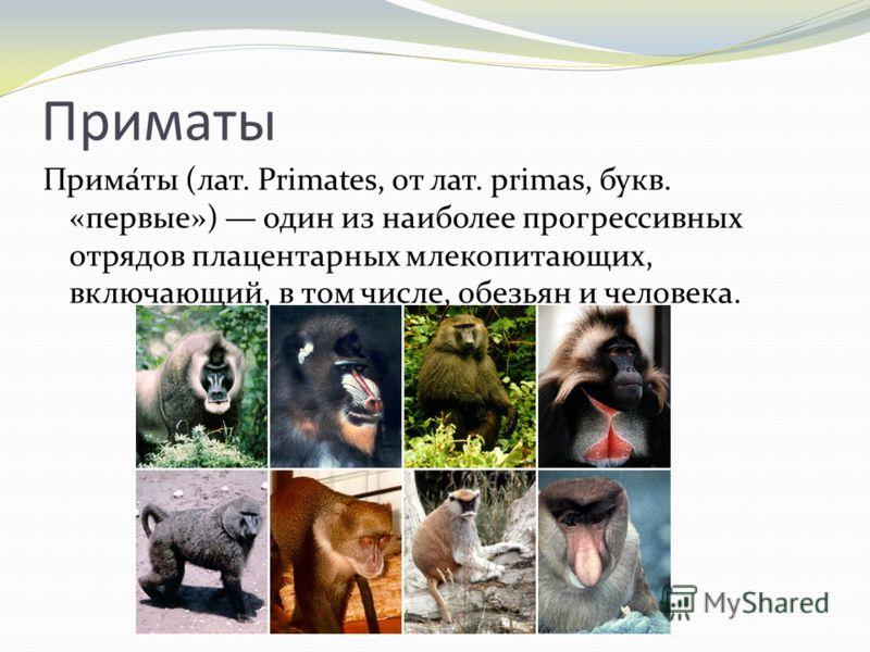 Приматы Прима́ты (лат. Primates, от лат. primas, букв. «первые») один из наиболее прогрессивных отрядов плацентарных млекопитающих, включающий, в том числе, обезьян и человека.