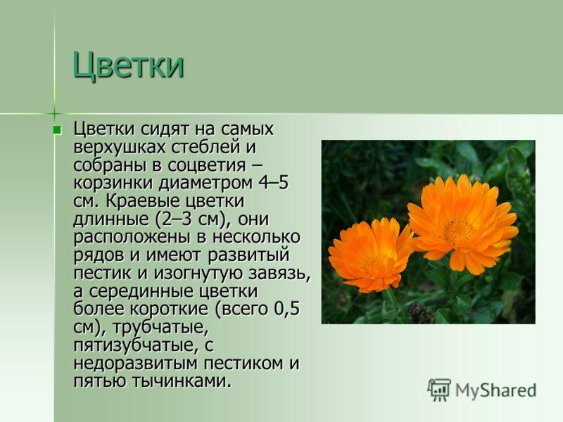 Цветки Цветки сидят на самых верхушках стеблей и собраны в соцветия – корзинки диаметром 4–5 см. Краевые цветки длинные (2–3 см), они расположены в несколько рядов и имеют развитый пестик и изогнутую завязь, а серединные цветки более короткие (всего