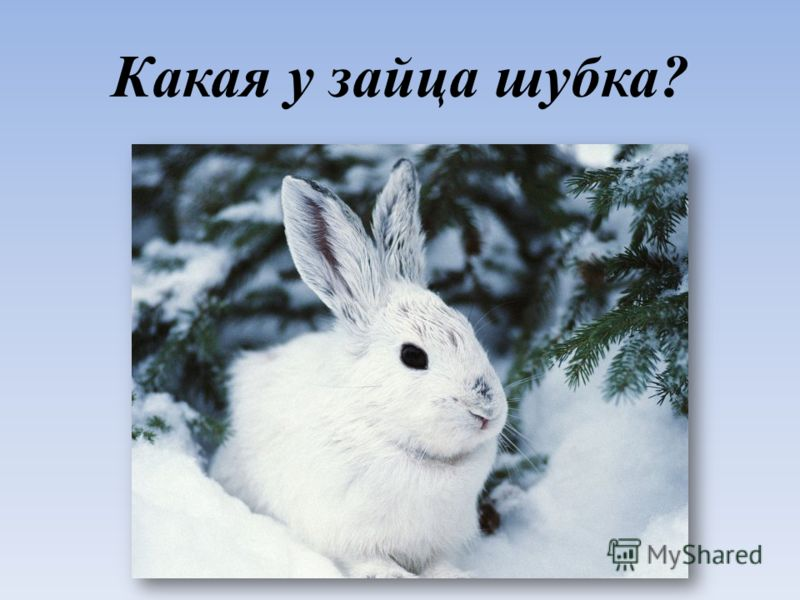 Какая у зайца шубка?
