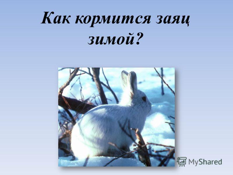 Как кормится заяц зимой?