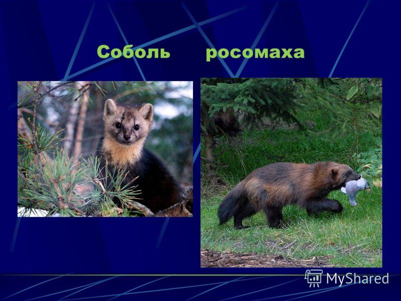 ЖИВОТНЫЙ МИР Хорошо приспособлены к жизни в тайге населяющие ее животные. Обычны в тайге бурый медведь, лось,белка,бурундук,заяц- беляк,типичные таежные птицы: глухарь, рябчик, различные дятлы, кедровка, клест. Характерны для тайги и хищники: волк, р