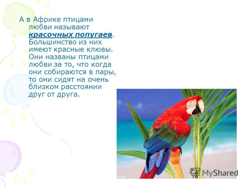 А в Африке птицами любви называют красочных попугаев. Большинство из них имеют красные клювы. Они названы птицами любви за то, что когда они собираютс