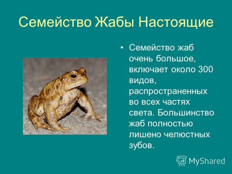 Семейство Жабы Настоящие Семейство жаб очень большое, включает около 300 видов, распространенных во всех частях света. Большинство жаб полностью лишено челюстных зубов.