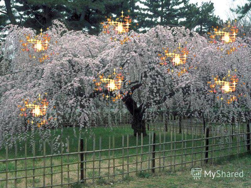 Ты думаешь, что это просто – напросто зеленая ёлочка? Нет! Это цветущая вишня, выращенная к празднику Нового года. Давным– давно, у славян был бог вишен, по имени Кернис. Чтобы умилостивить бога и получить хороший урожай на цветущих деревцах зажигали