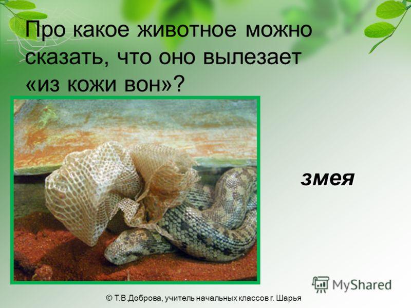 Про какое животное можно сказать, что оно вылезает «из кожи вон»? змея © Т.В.Доброва, учитель начальных классов г. Шарья
