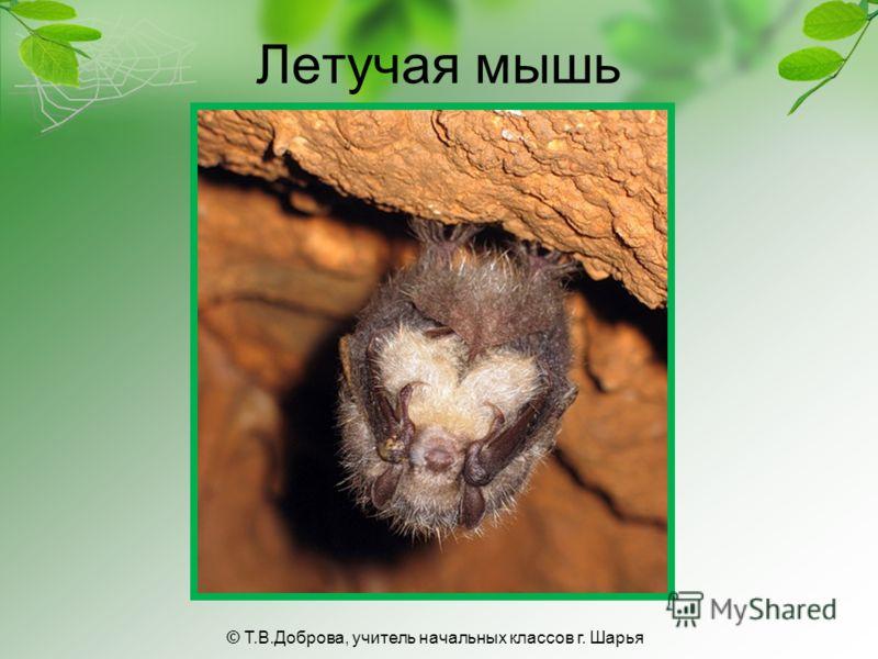 Летучая мышь © Т.В.Доброва, учитель начальных классов г. Шарья