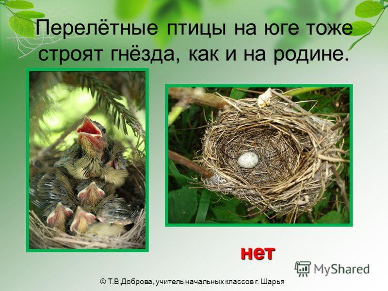 Перелётные птицы на юге тоже строят гнёзда, как и на родине. нет © Т.В.Доброва, учитель начальных классов г. Шарья