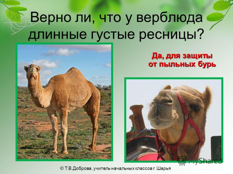 Верно ли, что у верблюда длинные густые ресницы? Да, для защиты от пыльных бурь © Т.В.Доброва, учитель начальных классов г. Шарья