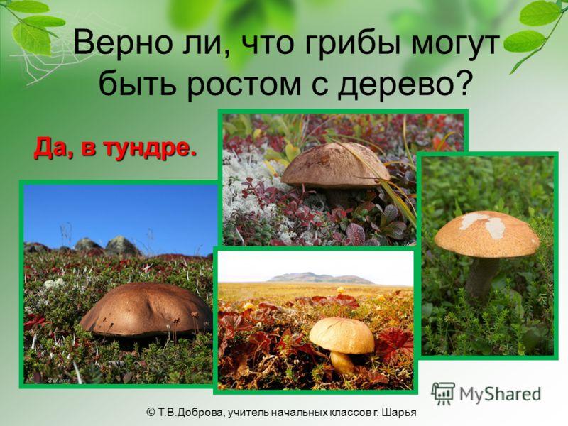 Верно ли, что грибы могут быть ростом с дерево? Да, в тундре. © Т.В.Доброва, учитель начальных классов г. Шарья