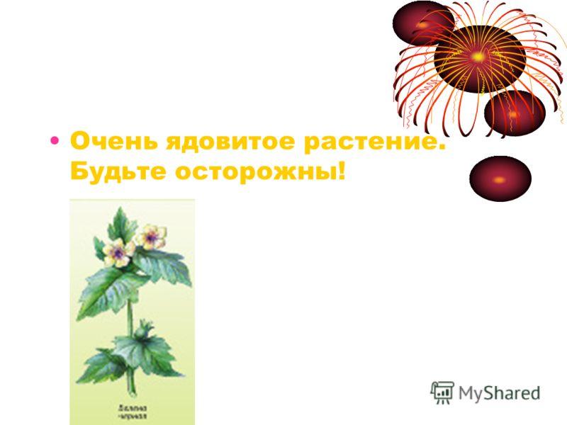 Белена Очень ядовитое растение. Будьте осторожны!