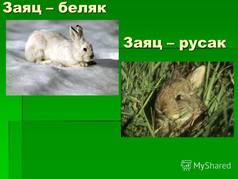 Заяц – беляк Заяц – русак