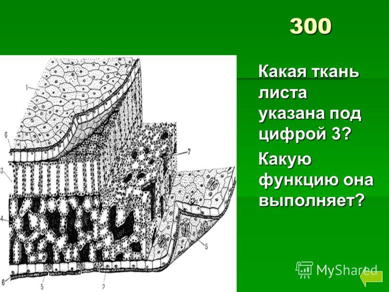 300 Какая ткань листа указана под цифрой 3? Какая ткань листа указана под цифрой 3? Какую функцию она выполняет? Какую функцию она выполняет?